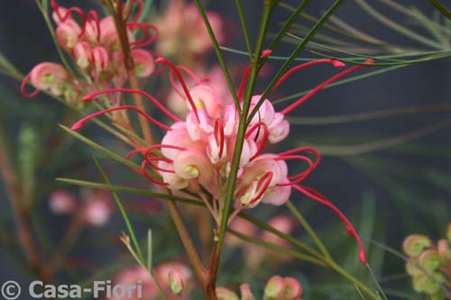 Grevillea johnsonii