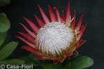 Protea Little Prince